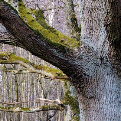 Moos auf den Bäumen