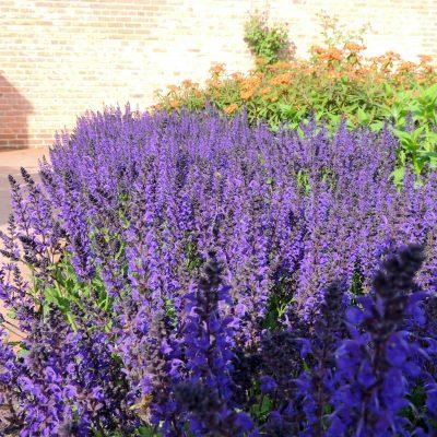 Lavendel (?)