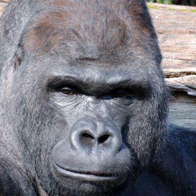 Gorilla - ein Silberrücken