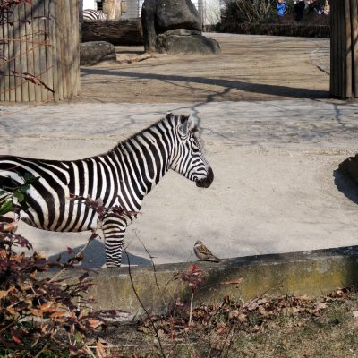 Zwiegespräch Zebra und Spatz. Was die sich wohl zu sagen hatten?