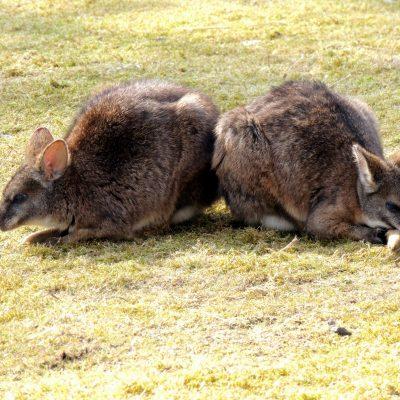 Parma Känguruhs schlafen offensichtlich auf ihrem Schwanz. Vielleicht, damit keiner drauf tritt?