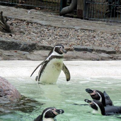 Wasserscheuer Pinguin?