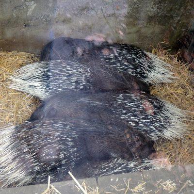 kuschelnde Stachelschweine