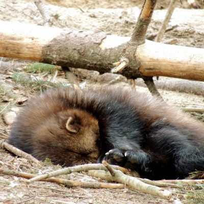 ein schlafender Vielfraß
