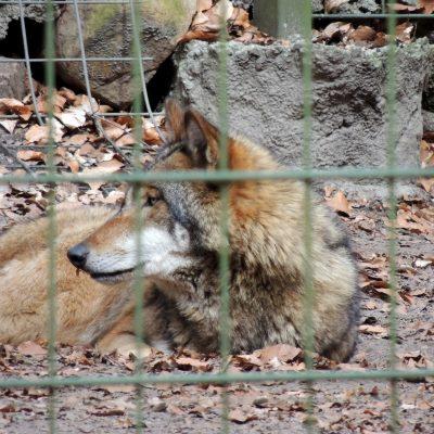 Wölfe neben dem Freigehege des Dammwildes ... die Armen ;-)