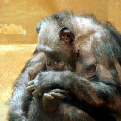 Gelenkiger Schimpanse