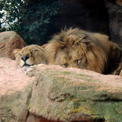 Sehr entspannte Löwen