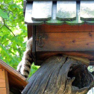 Die Waschbären verstecken sich