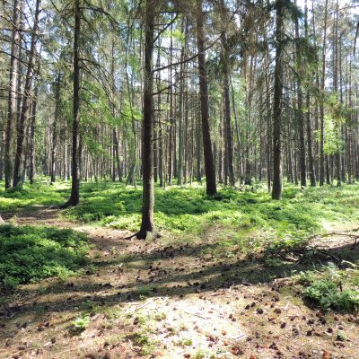 der aufgeforstete Wald