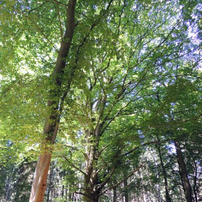 Uralter Baum am Herzogsgrab