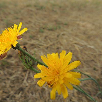 Vermutlich eine Pippau-Art. Ich sollte mehr auf die Blätter achten. ;-)