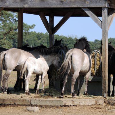 Koniks (polnisch: Pferdchen)