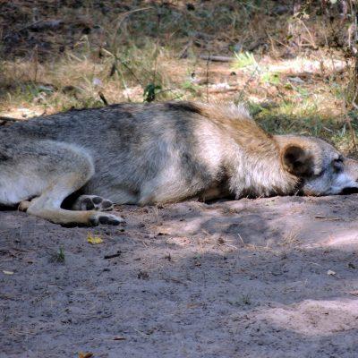 Die Wölfe lagen dösend im Schatten