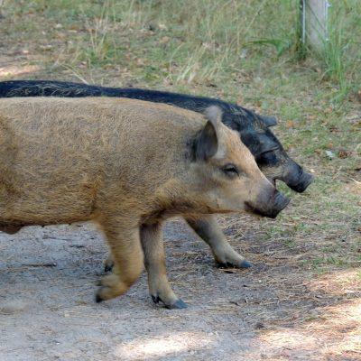 Kleine süße Schweinchen