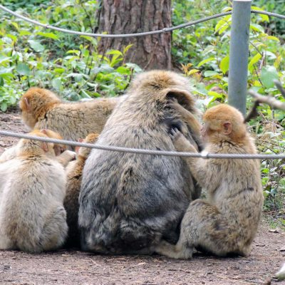 Was Affen so tun: Fellflege, ...