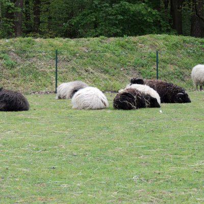 Und knuffige Schafe gab es auch.