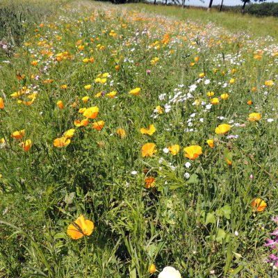 Blumenwiese vor Pansevitz