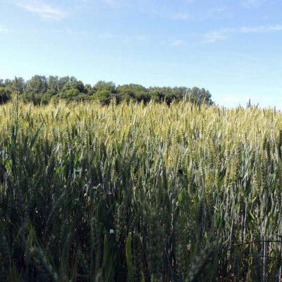 Getreide vorm Park
