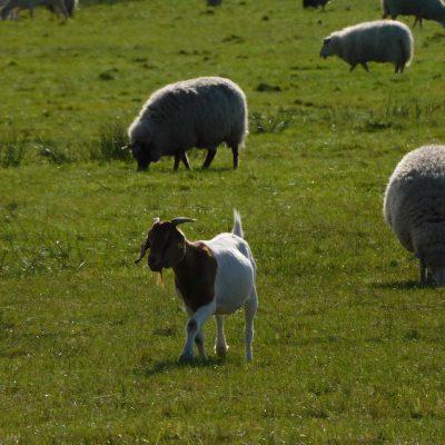 komisches Schaf ;-)
