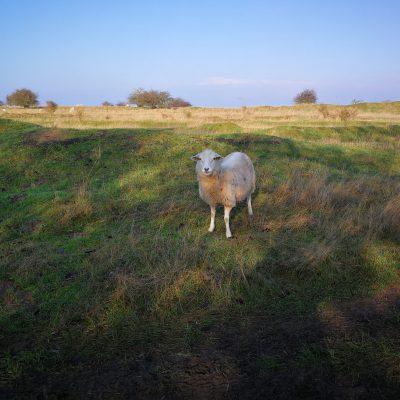 offensichtliches Schaf ;-)