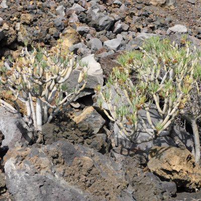 Die erste Pflanze nach einigen Kilometern - Balsam-Wolfsmilch