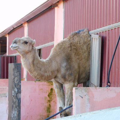 große Ziege 😉 Das Dromedar war wirklich groß.