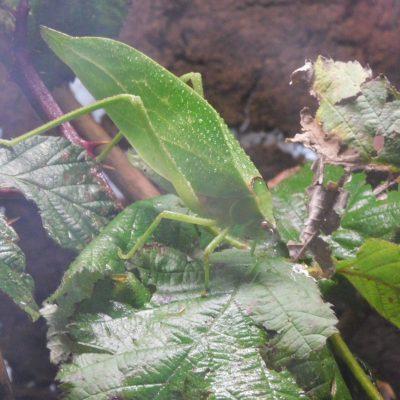 Riesenblattschrecke