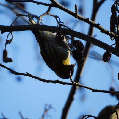 putzige, flinke kleine Vögelchen. Die flogen in Schwärmen über uns... Girlitze?