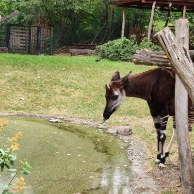 Okapi - Waldgiraffe